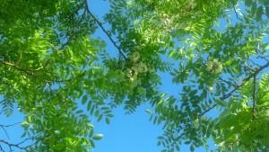 locust tree pic
