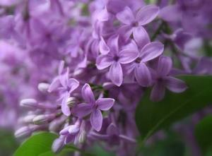 purple-lilac-flowers