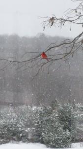 cardinal pic